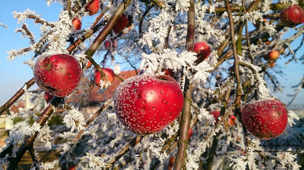 Frost_on_the_apples, Czech Republic